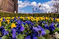Blue and yellow flowers at Stadshuset, Stockholm - panoramio.jpg