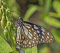 Blue tiger (Tirumala limniace exoticus) male underside.jpg