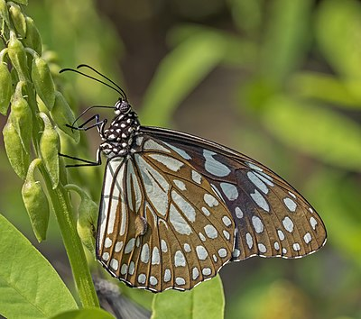 Blue tiger (Tirumala limniace exoticus) male