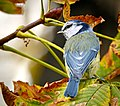 Blue tit (21958005522).jpg