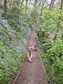 Bluebell Path,Walmsley Bridge - geograph.org.uk - 699987.jpg