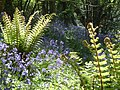 Bluebells and ferns - panoramio (1).jpg