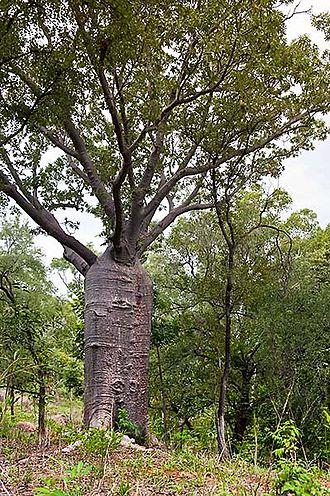 Adansonia gregorii - Image: Boab Katherine River