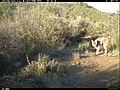 Bobcat (Lynx rufus) (24966540800).jpg