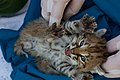 Bobcat Kittens B-340 and B-341 (27403653015).jpg