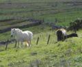 Boddam Shetland ponies.jpg