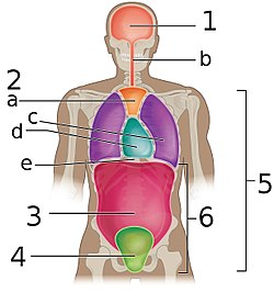 Body Cavities Frontal view labeled.jpg