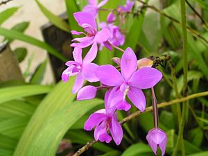 Spathoglottis - Spathoglottis plicata (Philippine ground orchid) inflorescence