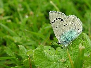 Bolboreta Mandaio (Galicia) 07-05-2006 2.jpg