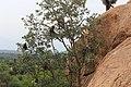 Bonnet macaque 04.jpg