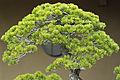 Bonsai tree, Saitama.jpg