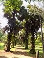 Borassus Aethiopum 02.jpg