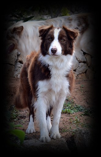 Border Collie - Chocolate Border Collie. Female.