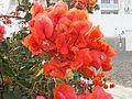 Bougainvillea arancione in un parco a CV.jpg