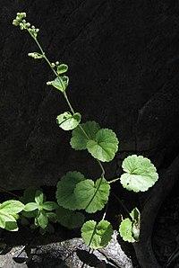 Boykiniarotundifolia.jpg