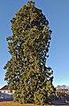 Brühl 2020 - Mammutbaum neben dem Schloss.jpg