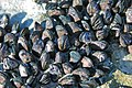 Brachidontes domingensis (Domingo mussels) encrusting intertidal-zone aragonitic limestone (San Salvador Island, Bahamas) 2 (15976549706).jpg