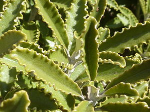 Brachyglottis - Brachyglottis monroi