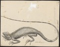 Brachylophus fasciatus - 1700-1880 - Print - Iconographia Zoologica - Special Collections University of Amsterdam - UBA01 IZ12800069.tif