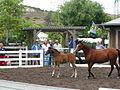Bravado Bey V 2002 Foal (555301726).jpg