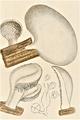 Bresadola - Tremellodon glutinosum f. alba.png