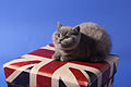 British Shorthair pui.jpg