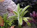 Bromeliad16.jpg