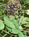 Brosen sambucus nigra1.jpg