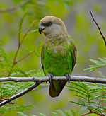 A green parrot with a light-brown head