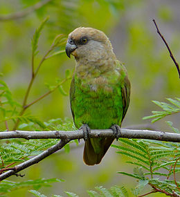 Brown-headed Parrot (Poicephalus cryptoxanthus) (11688869593).jpg