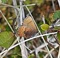 Brown Elfin (Callophrys augustinus) (8847670385).jpg