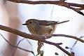 Brown Thornbill (Acanthiza pusilla) (8079664651).jpg