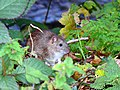 Brown rat near the River Kennet, Marlborough - geograph.org.uk - 607896.jpg