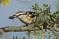 Brubru, Nilaus afer, at Marakele National Park, Limpopo, South Africa (45888302695).jpg