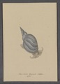 Buccinum stagnale - - Print - Iconographia Zoologica - Special Collections University of Amsterdam - UBAINV0274 085 06 0011.tif