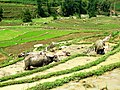 Buffaloes on rice fields.jpg