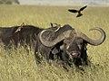 Buffels met een ossenpikker op de rug (6693821139).jpg