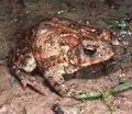 Bufo houstonensis1.jpg