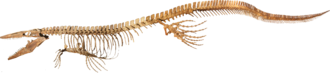 Skeleton of Tylosaurus proriger from the Academy of Natural Sciences in Philadelphia
