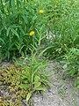 Buphthalmum salicifolium 2016-05-31 2136.jpg