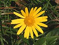 Buphthalmum salicifolium ENBLA01.jpg