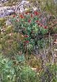 Burnt Protea nitida - new growth after fire.JPG