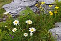 Burren flowers - Bláthanna na Boirne - geograph.org.uk - 920416.jpg