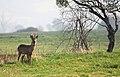 Burrow Mump Deer (6797899420).jpg