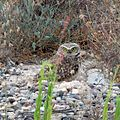 Burrowing Owl (18140125632).jpg