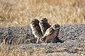 Burrowing Owls (28117591022).jpg
