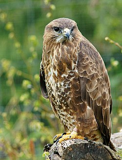 Buteo buteo -British Wildlife Centre, Surrey, England-8a.jpg
