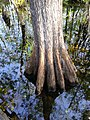 Butressed root system bald cypress.jpg