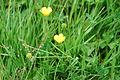 Buttercups (561457849).jpg