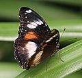 Butterfly 13 (30244728614).jpg